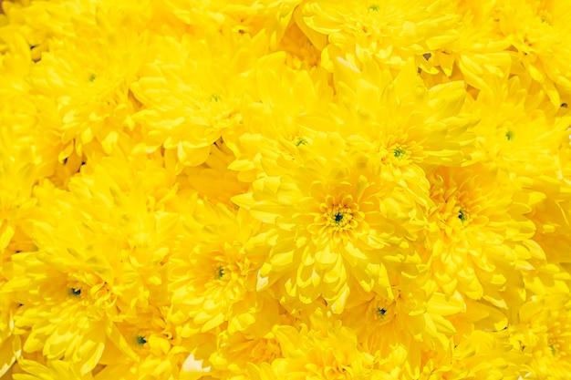 Texture de motif de boutons de fleurs de chrysanthème jaune frais