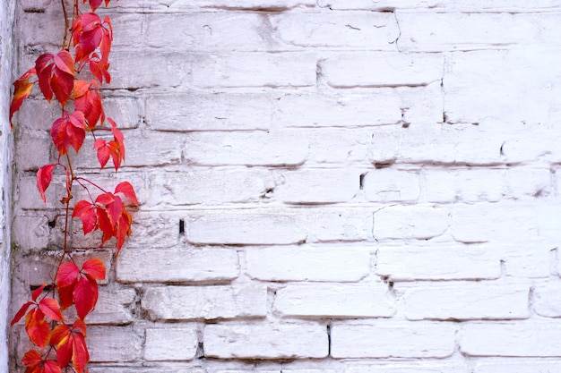 Texture de mur de briques peintes en blanc et des vignes de liane de lierre rouge