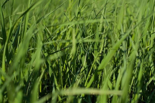 Texture naturelle de l'herbe verte