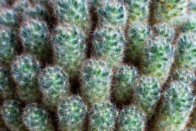 La texture de nombreux petits cactus verts. fermer