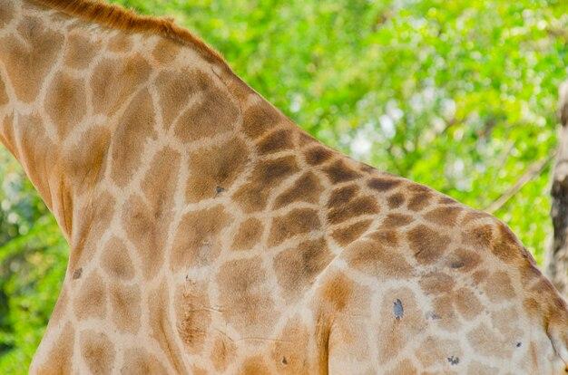 Texture de peau de girafe