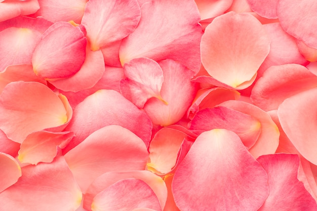Texture pétales de rose
