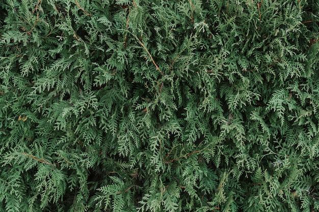 Texture d'une plante verte close-up, partie d'un thuya