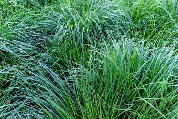 Texture de somptueux herbe ves