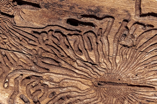 La texture de la surface interne de l'écorce de pin endommagée par les insectes nuisibles
