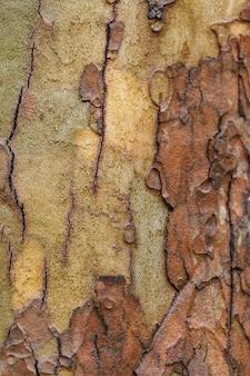 La texture de sycomore d'écorce d'arbre.