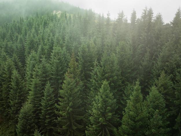 Texture de vue aérienne de sapins verts