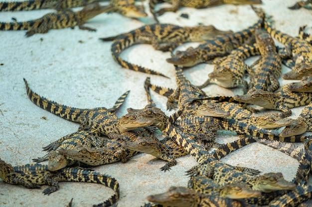 Thaïlande bébé crocodile à la recherche
