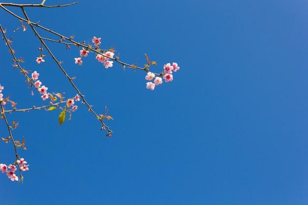 Thaïlande sakura fleur rose dans la province de phetchaboon, thaïlande