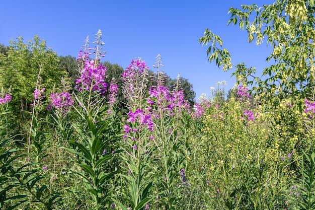 Le thé ivan et d'autres fleurs sauvages fleurissent dans le pré fond floral naturel
