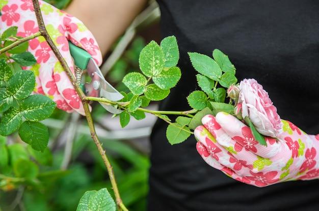 Thé jardinier élagage rose cisailles. mise au point sélective.