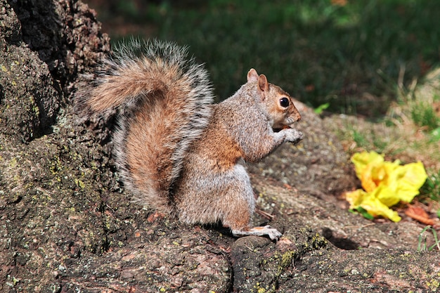 The squirrel in washington, états-unis