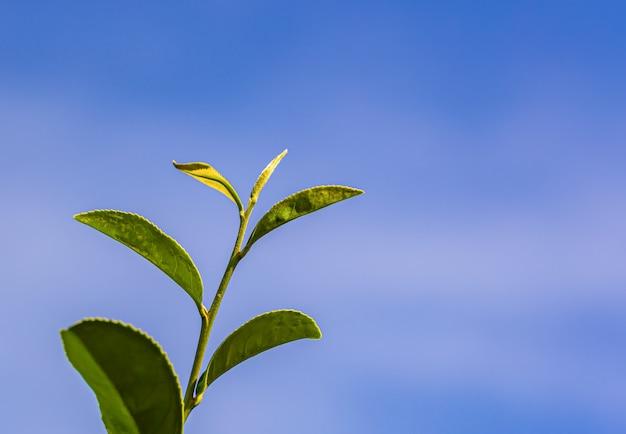 Thé vert jeune feuille