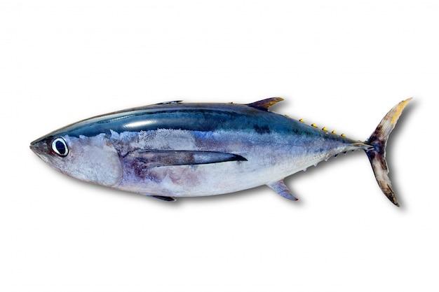 Thon albacore thunnus alalunga poisson isolé