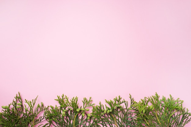 Thuya branche sur fond rose avec espace de copie.