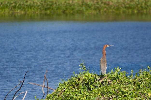 Tiger Heron Dans La Zone Humide Brésilienne Photo Premium