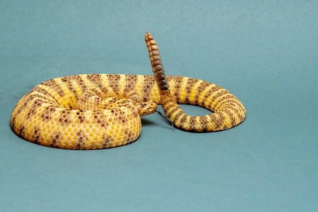 Tiger rattlesnake enroulé, sifflant et cliquetant dangereusement