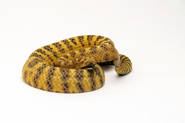 Tiger rattlesnake sifflement et cliquetis dangereusement isolé sur fond blanc