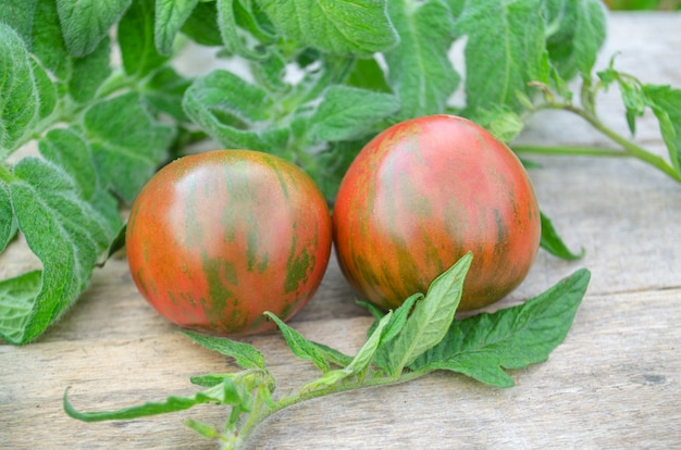 Tigerella aux tomates rouges