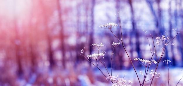 Tiges couvertes de givre de plantes séchées dans le pré en hiver pendant le coucher du soleil sur un fond flou, fond d'hiver