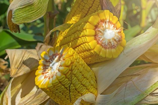 Tiges épaisses et cassées de maïs mûr dans le champ avant la récolte. 20 rangées de grains