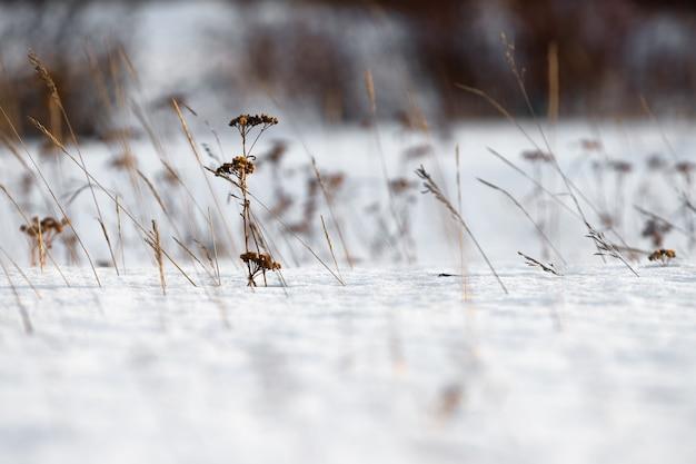 Des tiges d'herbe séchée jaillissant de sous la neige.
