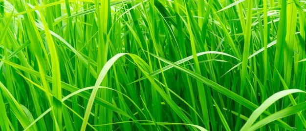 Tiges d'herbe verte.