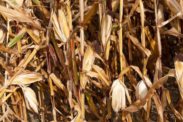 Tiges matures de maïs dans le domaine agricole