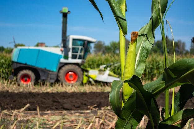 Tiges vertes et têtes de maïs ensilage dans le domaine
