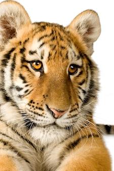 Tigre (5 mois) devant un blanc isolé