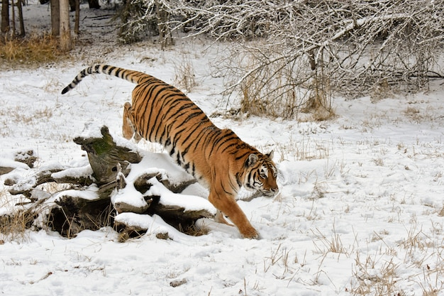Tigre achevant de sauter par-dessus un journal tombé couvert de neige en hiver