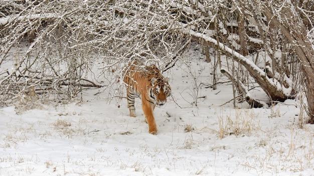 Tigre de l'amour marchant en hiver