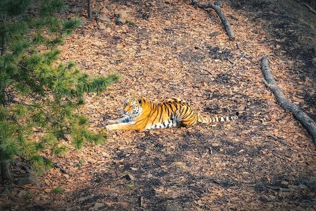 Tigre de l'amour se reposant dans la forêt en russie