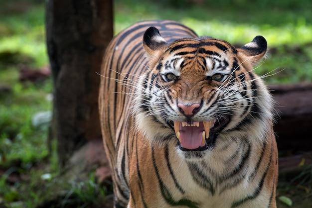 Un tigre au visage étrange