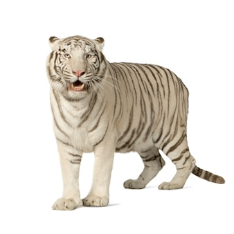 Tigre blanc (3 ans) devant un blanc isolé