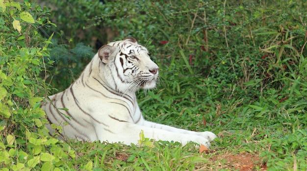 Tigre blanc au repos.