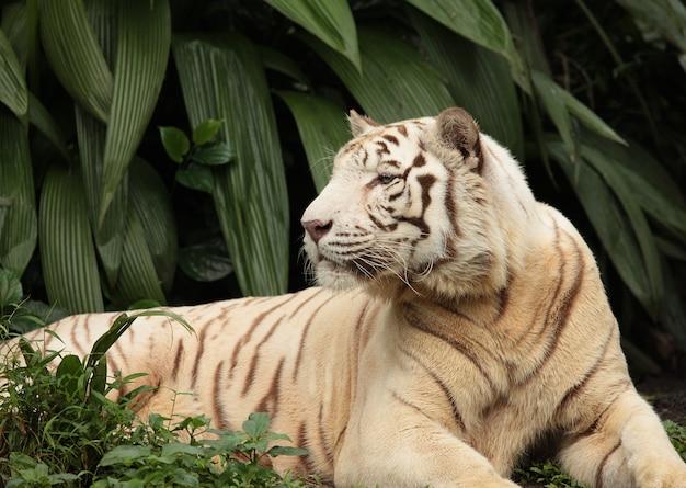 Tigre blanc en forêt