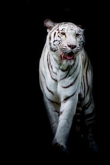 Tigre blanc marchant isolé sur fond noir