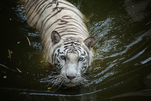 Tigre blanc nageant