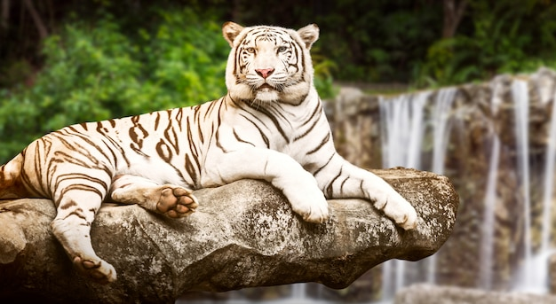 Tigre blanc sur un rocher