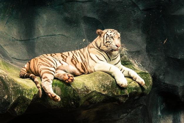 Tigre blanc se bouchent
