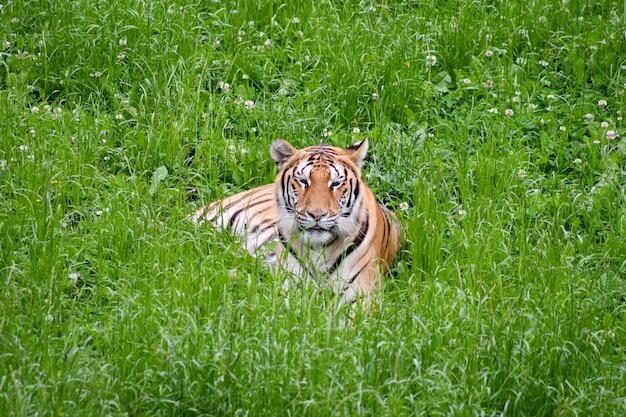 Tigre calme couché dans le champ