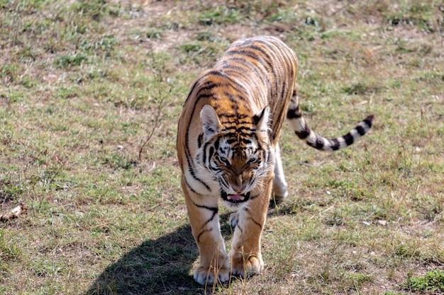 Le tigre en colère va à la caméra. vue d'en-haut. parc taigan