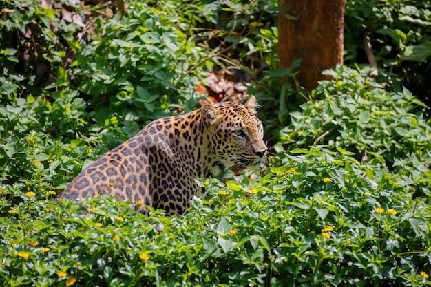 Tigre dans la forêt.