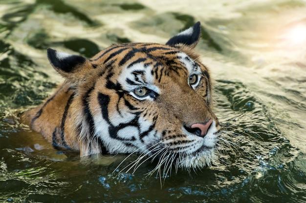 Tigre dans la jungle