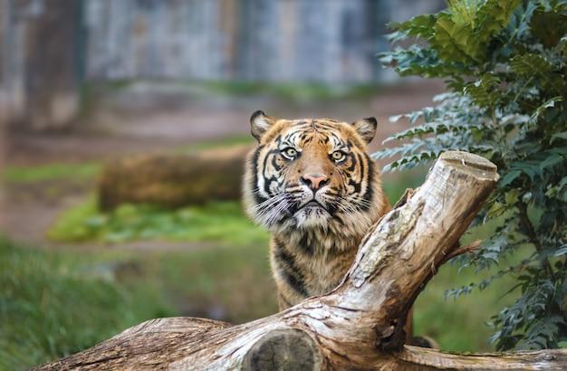 Un tigre dans un parc naturel