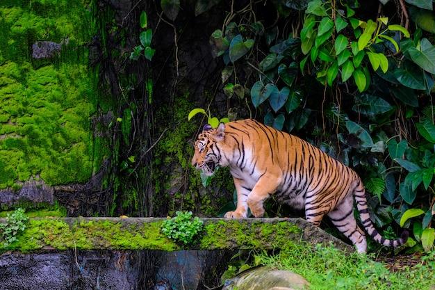 Tigre du bengale au repos avec de la mousse verte provenant du zoo de la jungle.