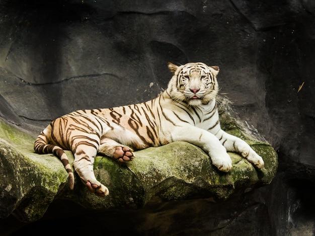 Tigre du bengale blanc se bouchent