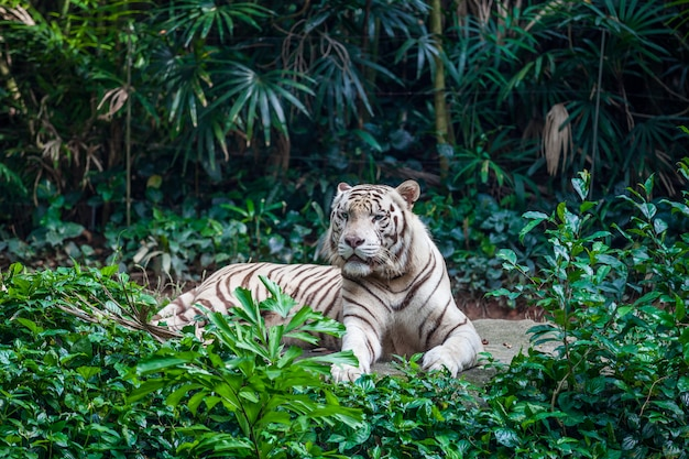Tigre du bengale blanc