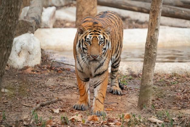 Tigre du bengale dans un zoo